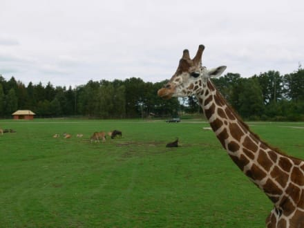 Giraffe - Serengeti Park