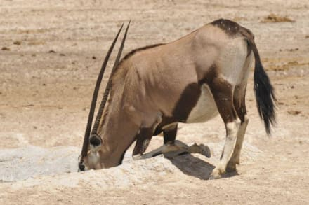 """Kniefall"" vorm Wasserloch - Etosha Nationalpark"