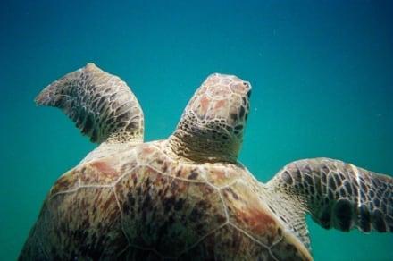 Schildkröte - Schnorcheln Perhentian