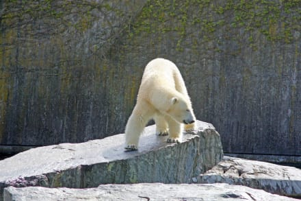 Eisbär - Wilhelma