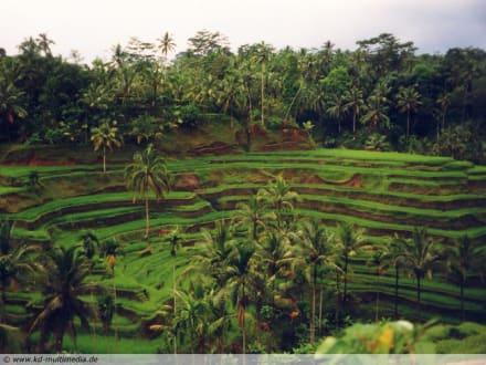 Reisterrassen - Bali - Reisterrassen