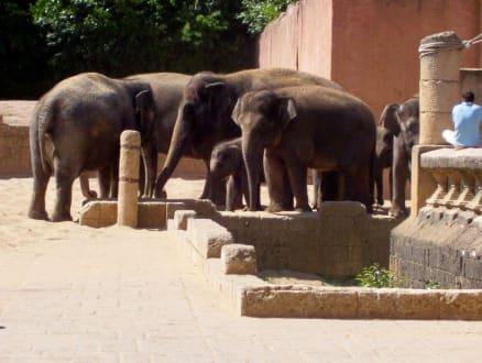 Familie Elefant - Erlebnis-Zoo Hannover