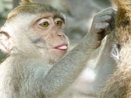 Na, wo gibt's Milch? - Affenwald Ubud