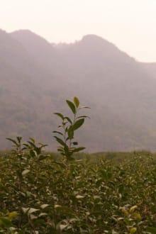 Eine Teeplantage - China National Tea Museum