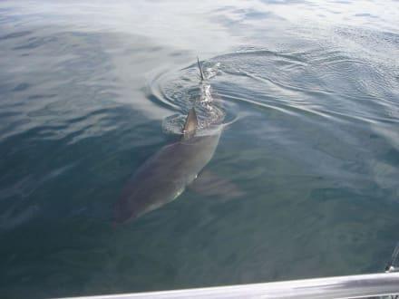 Weisser Hai - Shark Cage Diving