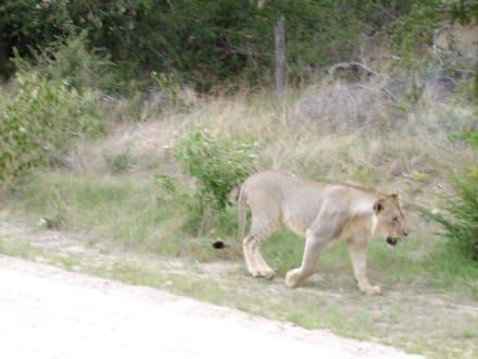 Löwe auf Rückweg vom Wasserloch - Etosha Nationalpark