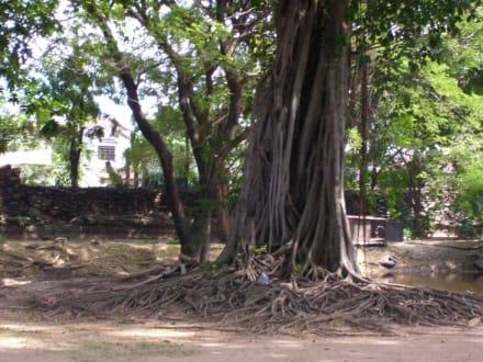 Alte Bäume - Khmer Tempel