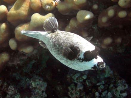 Ein Maskenkugelfisch am Hausriff - Schnorcheln Sharm el Sheikh
