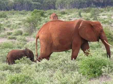 Ist der Kleine nicht süß? - Tsavo Ost Nationalpark