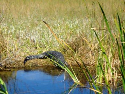 Alligatoren in freier Wildbahn - Everglades National Park