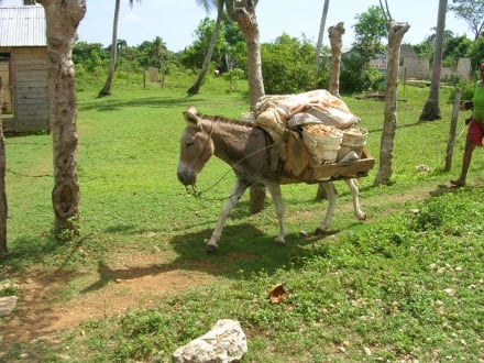 Ein Esel bei seiner täglichen Arbeit  - Buggy Tour