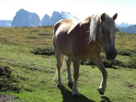 Seiseralm (Südtirol) - Wandern Seiser Alm