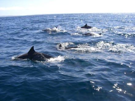 Delphine im Golf von Cariaco - Golf von Cariaco, San Antonio del Golfo