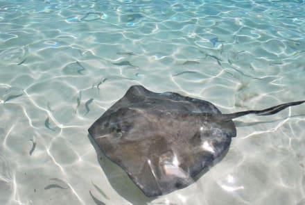Rochen füttern - Haitauchen