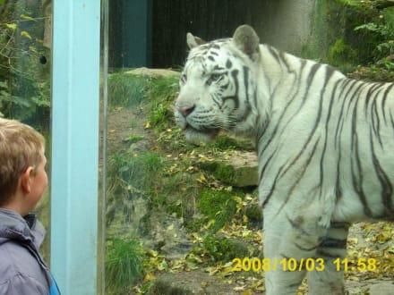 Weißer Tiger - Zoo Liberec
