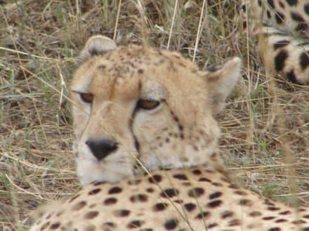 Gepard - Masai Mara Safari