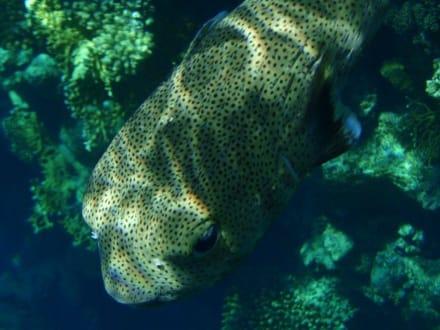 Gepunkteter Igelfisch - Tauchen Sharm el Sheikh