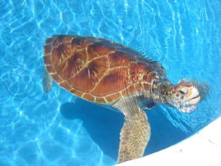 Ein schöner Brocken... - Meeresschildkrötenstation Projeto Tamar