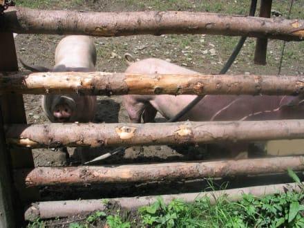 Schweine - Märchenwandermeile Trebesind