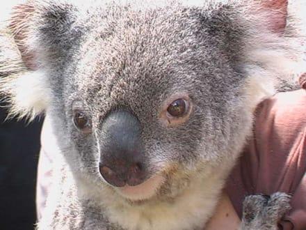 Niedlicher Koala - Lone Pine Koala Sanctuary