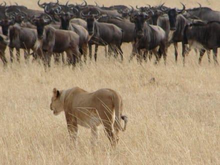 Löwin bei der Jagdt - Masai Mara Safari