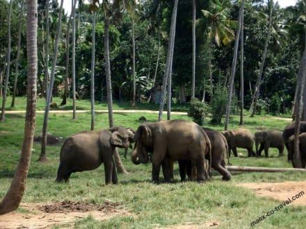 Elefanten-Schutzpark - Elefantenwaisenhaus Pinnawela