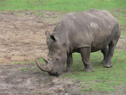 Nashorn - Serengeti Park