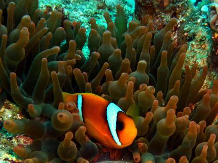 Anemonenfisch - Straße von Tiran