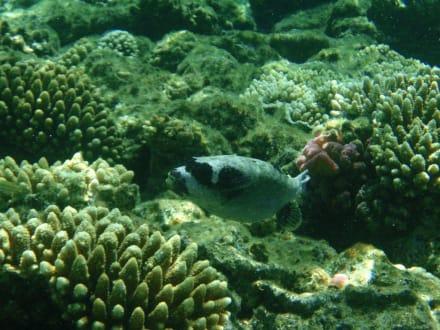 Maskenigelfisch - Schnorcheln Sharm el Sheikh