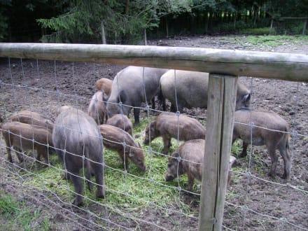 Wildschweine - Wildpark Poing