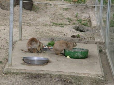 Präriehunde - Tierpark Aachen