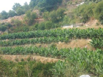 Bananenplantage - Bananenplantage von Alanya