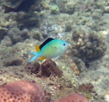 Blaugrüner Chromis 9cm, Männchen in Balzfärbung - Hausriff Hotel Lahami Bay Berenice