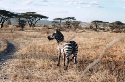 Zebra in der Masai Mara - Masai Mara Safari