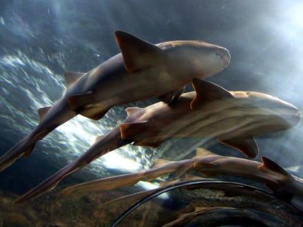 Im Aquarium Haie - Loro Parque