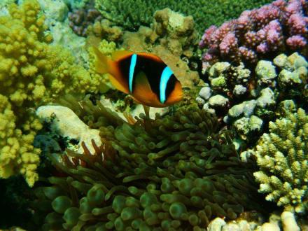 Nemo - Tauchen Makadi Bay