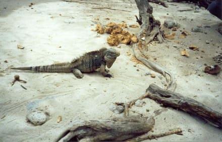 Leguan auf Cayo Blanco - Strand Cayo Blanco
