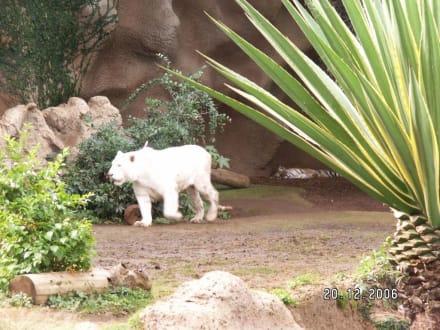 Der weiße Tiger - Loro Parque