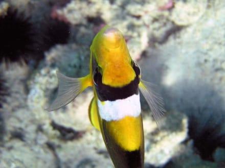 Anemonenfisch - Schnorcheln Makadi Bay