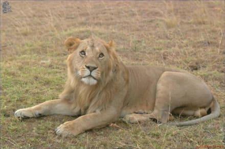 Löwe - Kuba - Masai Mara Safari