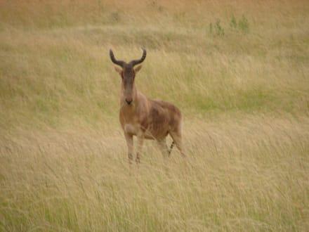 Kuhantilope - Masai Mara Safari
