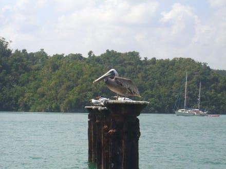 Mister Pelikan - Los Haitises Nationalpark