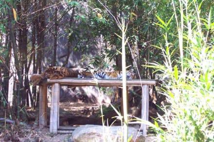 Die Tiger machen gern ein Nickerchen - Taronga Zoo