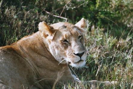 Löwe - Masai Mara Safari