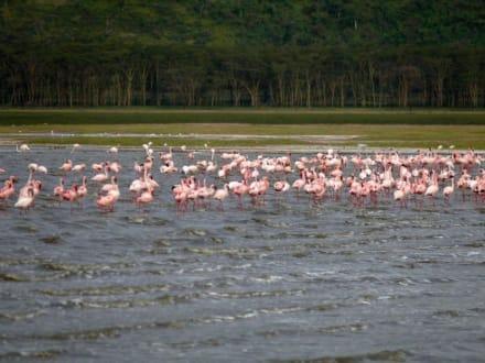 Famingos am Lake Nakuru - Lake Nakuru Nationalpark