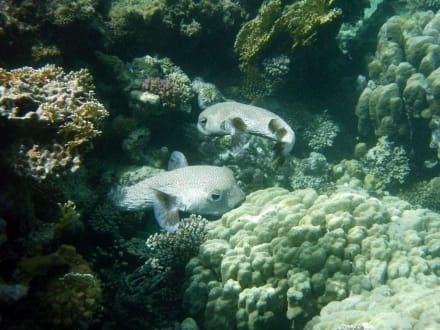 Kofferfische - Schnorcheln Marsa Alam