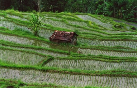 Bali-Reisterrassen - Reisterrassen