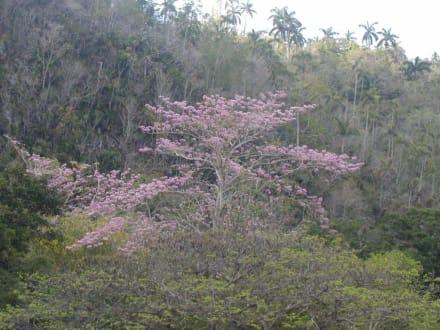 Pflanzen - Vinales Tal