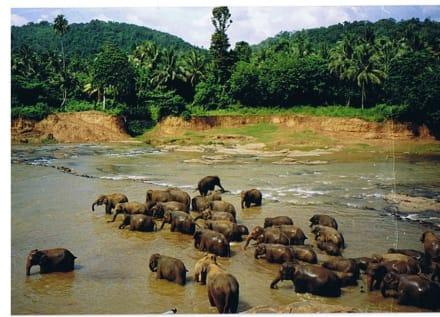 Elefantenwaisenhaus in Pinawela - Elefantenwaisenhaus Pinnawela