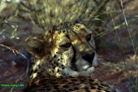 Gepard - Tansania